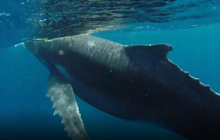 Moment a swimmer gets up-close with Humpback whale and calf