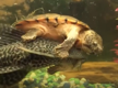 Moment a turtle rides a fish rodeo style