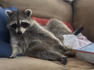 Couch potato racoon is a picture of laziness