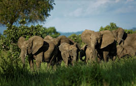 In this photo taken Wednesday, March 21, 2018, a herd of elephants form a protective circle against a perceived threat, just after one was shot with a tranquilizer dart during an operation to attach GPS tracking collars in Mikumi National Park, Tanzania. The battle to save Africa's elephants appears to be gaining momentum in Mikumi, where killings are declining and some populations are starting to grow again. (AP Photo/Ben Curtis)