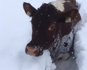 Cows wade through deep snow amid winter storms in Austria