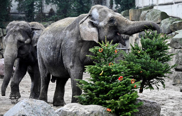 Slide 2 of 29: An Asian Elephant (Elephas maximus) plays with a Christmas tree decorated with pepper and other treats in its enclosure at the Tierpark zoo in Berlin on January 4, 2019. (Photo by Tobias SCHWARZ / AFP)        (Photo credit should read TOBIAS SCHWARZ/AFP/Getty Images)