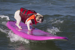 Dog on a pink/purple surfboard at beach