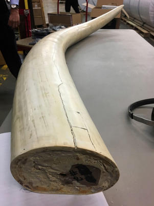 In this Jan. 8, 2018 photo, an elephant tusk that was part of a $4.5 million illegal ivory seizure from a New York City antiques shop lay on a table at a New York State Department of Environmental Conservation warehouse in Albany, N.Y. To help support anti-poaching efforts, scientists will use carbon dating to determine when the elephant was killed and DNA analysis to pinpoint where it came from in Africa. (AP Photo/Mary Esch)