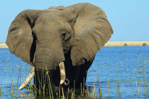 African elephant eat in the lake Kariba. (Photo by Gilles MARTIN/Gamma-Rapho via Getty Images)