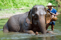 Chiang Mai, Thailand – April 23, 2014: A mahout bathes his elephant in a river outside Chiang Mai, Thailand on January April 23, 2014.