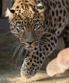 Leopard rampages through crowded neighbourhood
