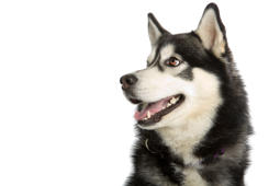 Alaska Malamute dog isolated on a white background