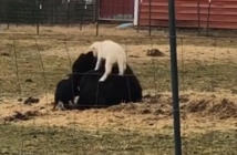Lamb and piglet use this very patient cow as a personal jungle gym