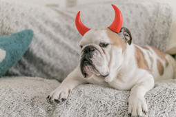 bulldog with red devil horns