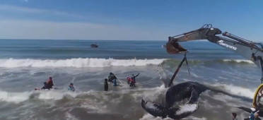 Good Samaritans rush to help trapped whales
