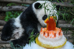 A female one-year-old panda cub sits next to her birthday cake during a celebration at Malaysia's national zoo in Kuala Lumpur on January 14, 2019. - The second panda was born at the national zoo on January 14, 2018 from parents Liang Liang and Xing Xing, a pair loaned from China. (Photo by MOHD RASFAN / AFP)        (Photo credit should read MOHD RASFAN/AFP/Getty Images)