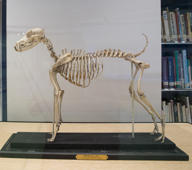 Wednesday, Jan. 9, 2019, photo shows the skeleton of Belgrave Joe, the foundation sire of both fox terrier wire and smooth bloodlines, on display at the library of the American Kennel Club Museum of the Dog in New York. The museum opens Feb. 8.