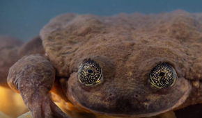 Rare frog may have a match to save its species