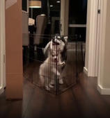 Puppy struggling to jump over gate is upstaged by bigger dog