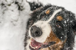 A puppy of a Bernese Mountain Dog playing in a snowy forest