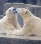 French kissing polar bears