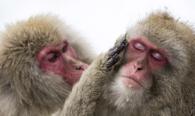 86 枚のスライドの 1 枚目: YAMANOUCHI, JAPAN - FEBRUARY 08: Macaque monkeys bathe in a hot spring at the Jigokudani Yaen-koen wild Macaque monkey park on February 8, 2019 in Yamanouchi, Japan. The wild Japanese macaques are known as snow monkeys, according to the park's official website. (Photo by Tomohiro Ohsumi/Getty Images)