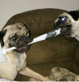 Two pugs fighting for a toilet brush