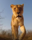 African lioness plays with camera