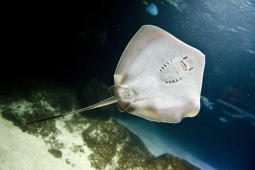 Baby stingray hatches from plastic bag