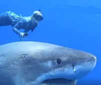 Researchers' close encounter with the great white shark