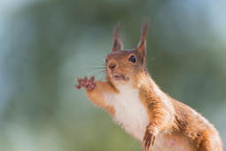 Close up of red squirrel is reaching out, Bispgarden, Sweden