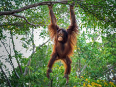 Baby orangutan playing in the trees.