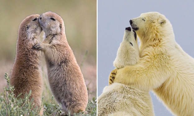 36 枚のスライドの 1 枚目: Black-tailed Prairie Dogs appearing to kiss; Polar bears appear to be hugging, Alaska