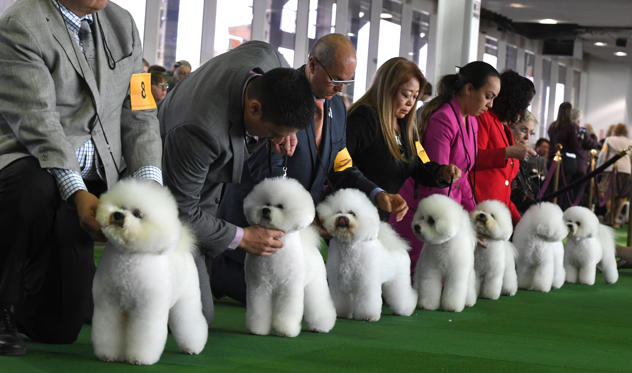 Slide 1 of 29: Bichons Frises gather in the judging ring during the Daytime Session in the Breed Judging across the Hound, Toy, Non-Sporting and Herding groups at the 143rd Annual Westminster Kennel Club Dog Show at Pier 92/94 in New York City on February 11, 2019. (Photo by TIMOTHY A. CLARY / AFP)        (Photo credit should read TIMOTHY A. CLARY/AFP/Getty Images)