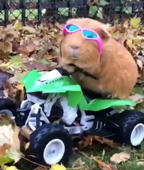 Guinea pig goes four-wheeling on RC vehicle