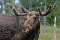 Hungry moose strolls right up to the steps of couple's home