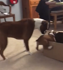 Boxer excited to meet new puppy in box