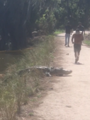 Oblivious jogger literally runs into alligator on path
