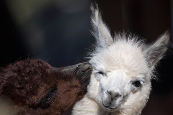 Slide 1 of 30: 23 February 2018, Germany, Frankfurt am Main: A brown alpaca searches for body contact at the Frankfurt zoo. Photo: Fabian Sommer/dpa (Photo by Fabian Sommer/picture alliance via Getty Images)