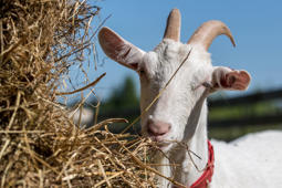 MOSCOW REGION, RUSSIA - MAY 14, 2018: A goat at the Koza Nostra ecological farm raising various goat breeds and producing cheese made of goat and cow milk, in the Taldom District of the Moscow Region. Sergei Bobylev/TASS (Photo by Sergei Bobylev\TASS via Getty Images)