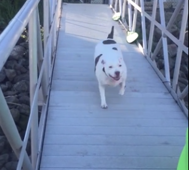Pit Bull helps frightened puppy cross over bridge