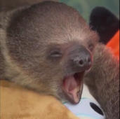 Baby sloth sticks out tongue while yawning