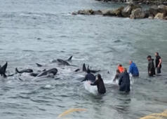 Locals rescue stranded whales in New Zealand