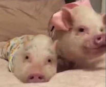 Pigs and pug enjoy 'slumber party' with baby goat