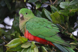 KING PARROT (ALISTERUS SCAPULARIS), QUEENSLAND, AUSTRALIE. (Photo by JOUAN/RIUS/Gamma-Rapho via Getty Images)