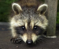 raccoon  (Photo by Gregory Rec/Portland Press Herald via Getty Images)