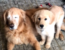 Blind golden retriever has his own four-legged 'seeing-eye' companion