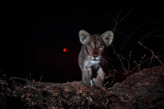 Slide 1 of 44: ZAMBIA - SEPTEMBER 28: A lion cub is pictured in front of the blood moon on September 28, 2015 in South Luangwa National Park, Zambia.  A cute lion cub stares at a camera against the backdrop of a blood moon which is glowing in the night sky. This incredible image was shot by UK photographer William Burrard-Lucas in South Luangwa National Park, Zambia. The wildlife snapper used a BeetleCam to capture the picture of the curious feline as it moved in front of the rare astronomical event. A blood moon occurs when a full moon is at its closest to the Earth, resulting in it appearing bigger and brighter - this 'supermoon' phenomena then coincides with a full lunar eclipse where the Earth, the moon and the sun are aligned.  PHOTOGRAPH BY Will Burrard - Lucas / Barcroft Media  UK Office, London. T +44 845 370 2233 W www.barcroftmedia.com  USA Office, New York City. T +1 212 796 2458 W www.barcroftusa.com  Indian Office, Delhi. T +91 11 4053 2429 W www.barcroftindia.com (Photo credit should read Will Burrard - Lucas / Barcroft  / Barcroft Media via Getty Images)