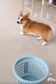 Guilty corgi runs back to cage to avoid being told off