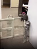 The great escape: Dog helps puppy climb over pet barrier