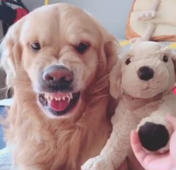 Jealous golden retriever pulls angry face at owner for stroking a toy dog