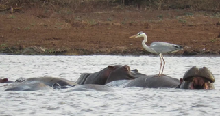 Incredibly brave bird stands on the back of a hippo