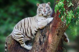 A rare sight of white tiger secure herself firmly on tree branch with elegance curve line looking at my camera.