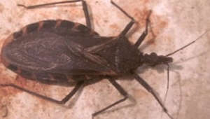 The 'kissing bug' which 300,000 Americans don't know they have